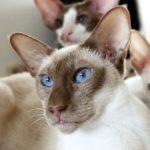 Chat siamois yeux bleux