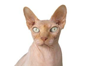 chat sphynx blanc